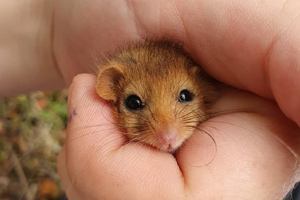 adult dormouse
