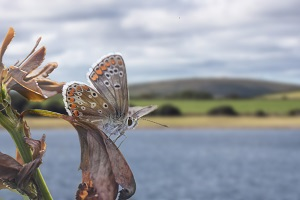 Common Blue Butterfly overlooking Siblyback Lake