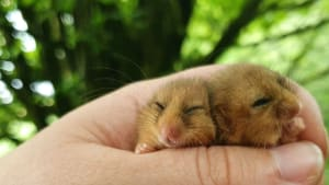 two dormice at wimbleball lake