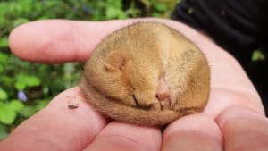 Trenchford Dormouse